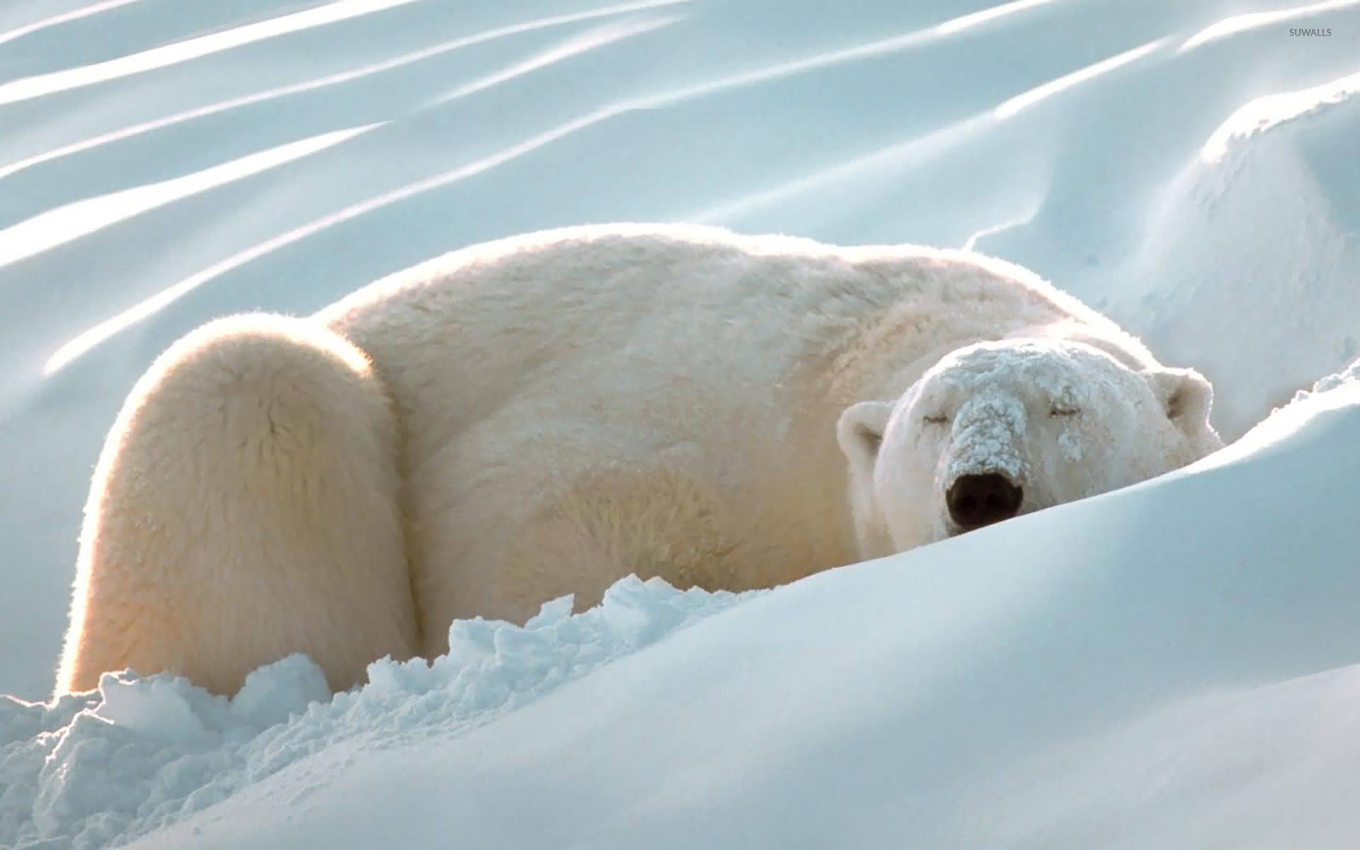Polar Bear Swimming Stock Illustrations, Cliparts And Royalty Free Polar  Bear Swimming Vectors