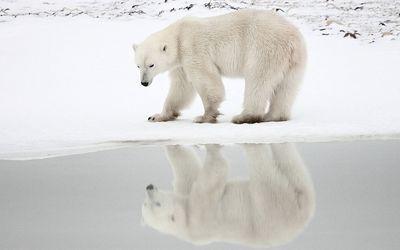 Polar bear looking at the sea wallpaper