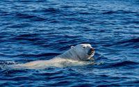 Polar bear swimming wallpaper 2560x1440 jpg