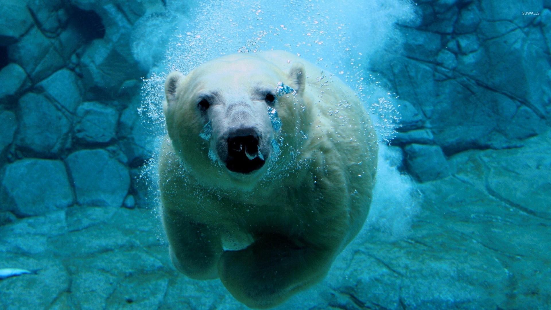 polar bear swimming under water wallpaper - animal wallpapers - #49284