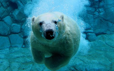 Polar bear swimming under water wallpaper