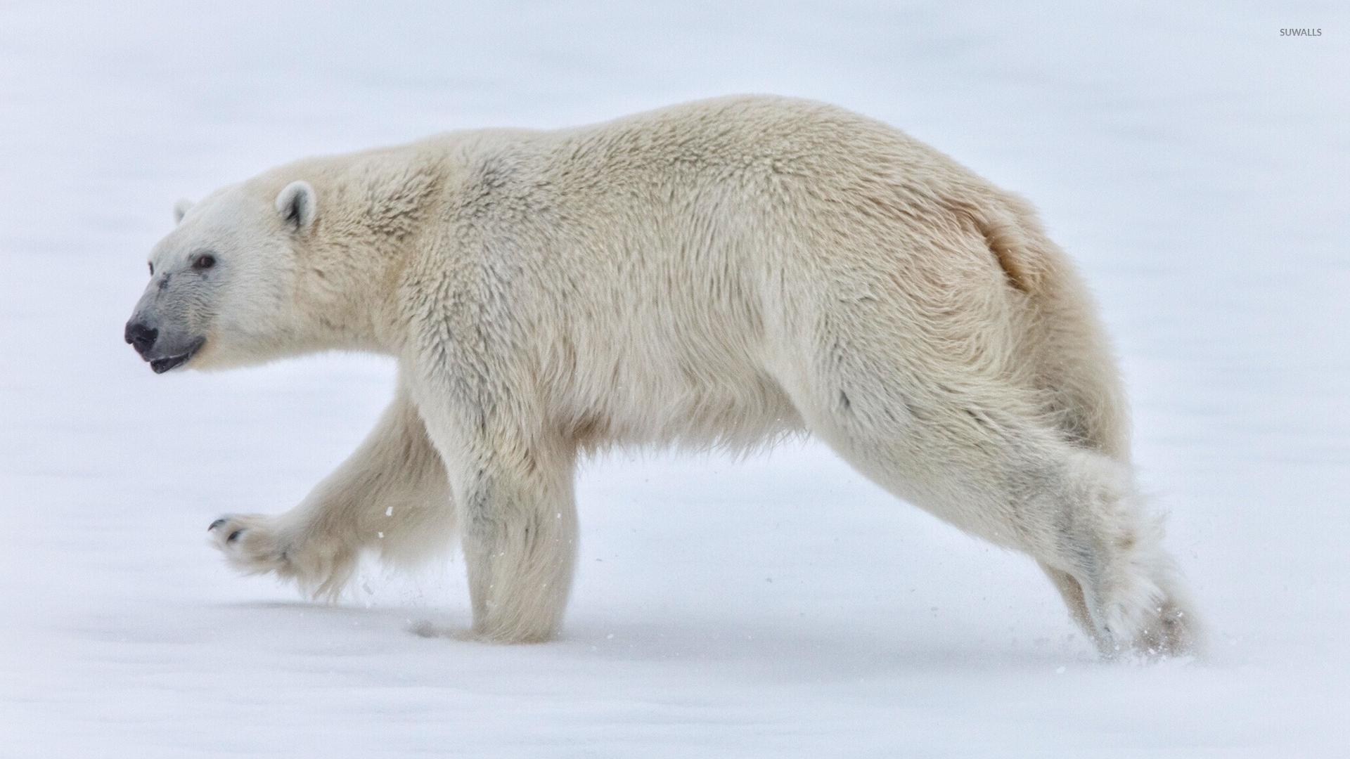 polar bear walking in the snow wallpaper animal