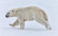Polar bear walking in the snow wallpaper 1920x1200 jpg