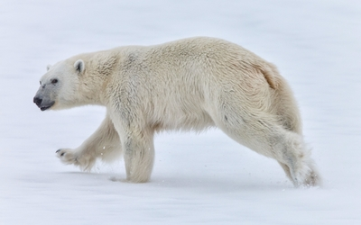 Polar bear walking in the snow wallpaper