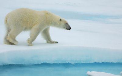 Polar bear walking on ice wallpaper
