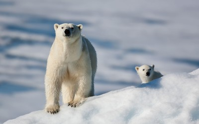 Polar bear with cub wallpaper