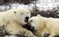 Polar Bears [3] wallpaper 1920x1080 jpg