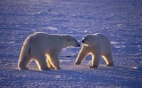 Polar bears [4] wallpaper 2560x1600 jpg