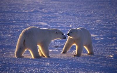 Polar bears [4] wallpaper