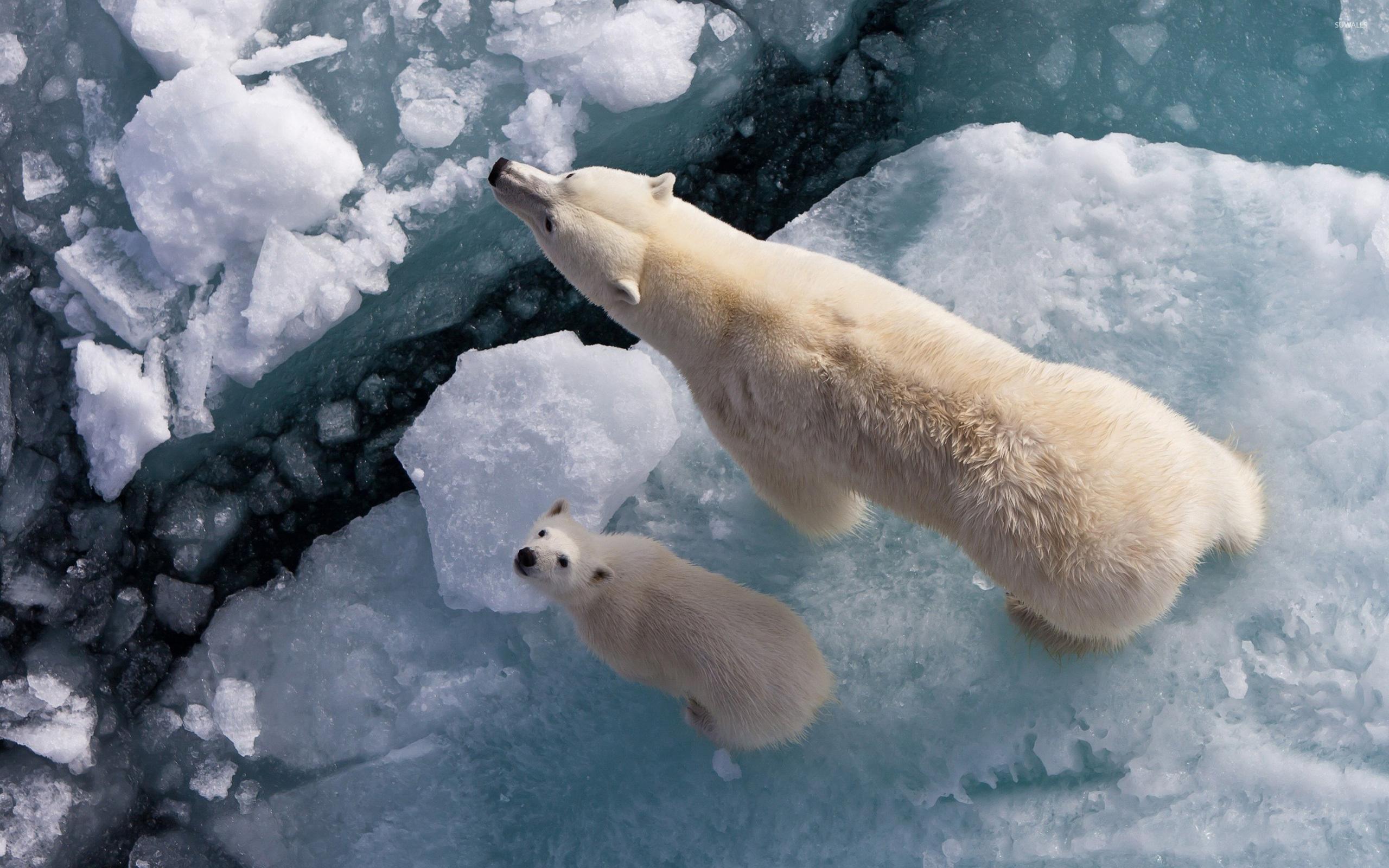 polar bears wallpaper - animal wallpapers - #7912