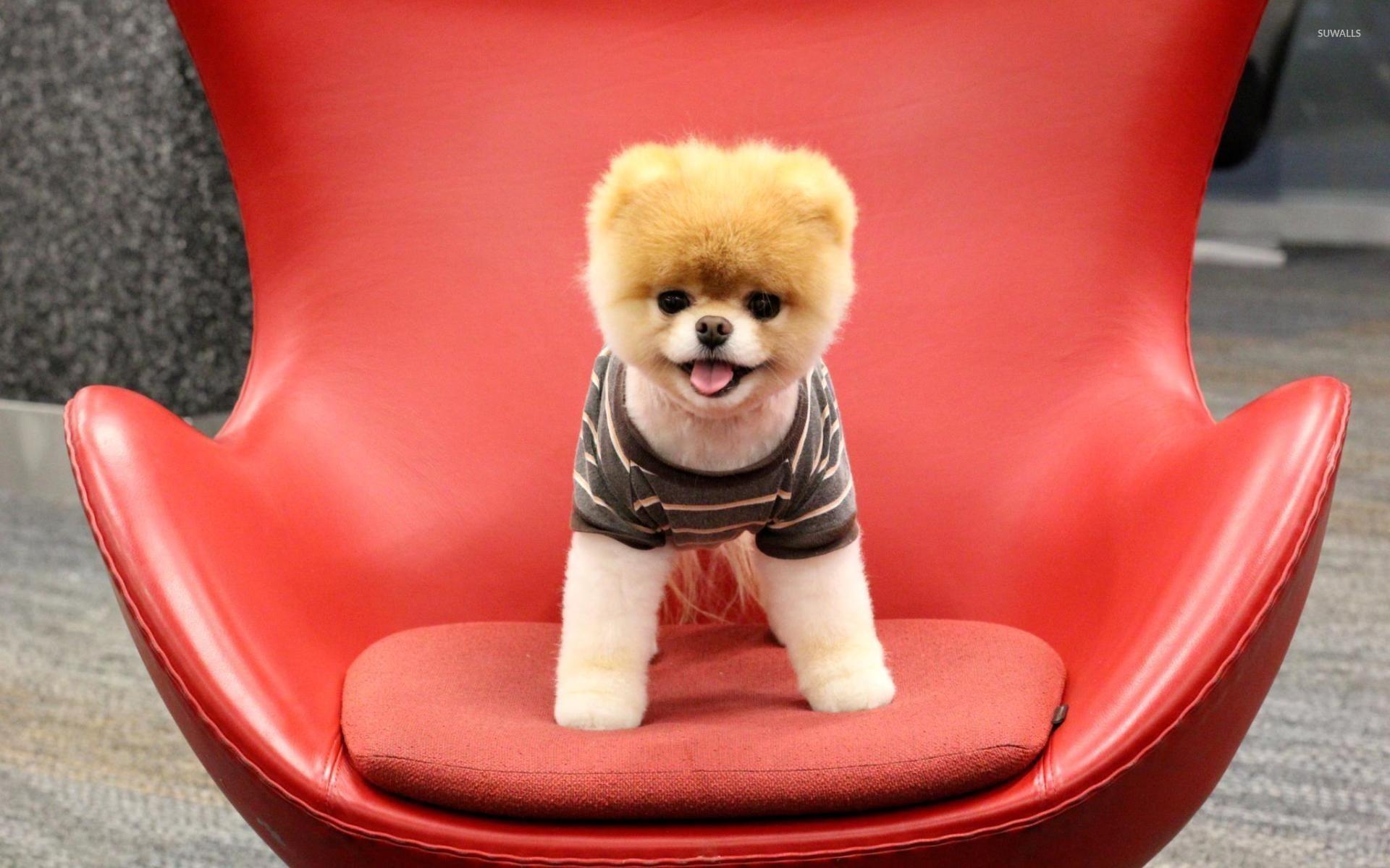 Pomeranian Puppy Wallpaper Animal Wallpapers 22393