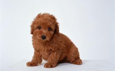 Poodle Puppy wallpaper