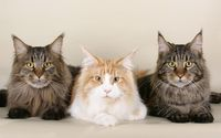Posing cats wallpaper 1920x1200 jpg