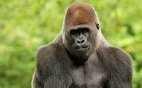 Posing gorilla wallpaper 2560x1600 jpg