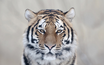 Posing tiger wallpaper