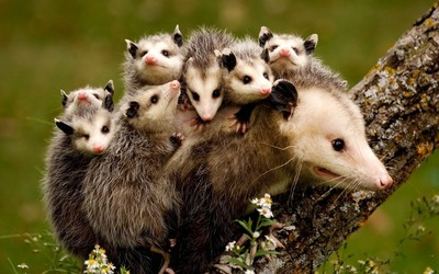 Possum family wallpaper