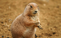 Prairie dog [2] wallpaper 1920x1200 jpg