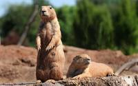 Prairie dogs wallpaper 1920x1200 jpg