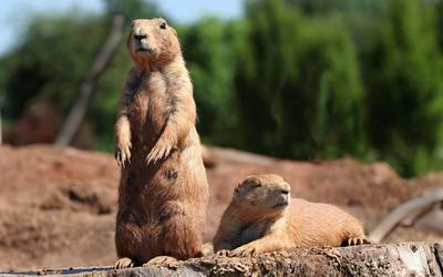 Prairie dogs wallpaper