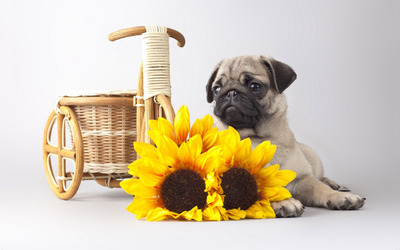Pug behind the sunflowers wallpaper