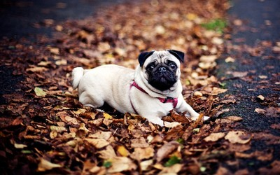 Pug in the fallen leaves wallpaper