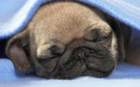 Pug Puppy wallpaper 1920x1080 jpg