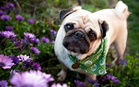 Pug with scarf wallpaper 1920x1200 jpg