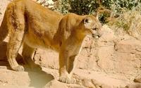 Puma on a rock wallpaper 1920x1200 jpg