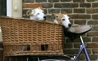 Puppies carried in a straw basket on a bike wallpaper 1920x1080 jpg