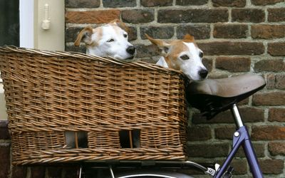 Puppies carried in a straw basket on a bike wallpaper