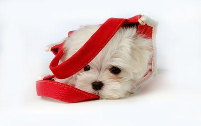 Puppy in a bag wallpaper