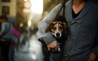 Puppy in a purse wallpaper 1920x1200 jpg