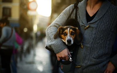 Puppy in a purse wallpaper