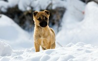 Puppy in the snow wallpaper 1920x1200 jpg