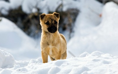 Puppy in the snow wallpaper