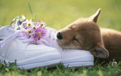 Puppy sleeping on the shoes Wallpaper