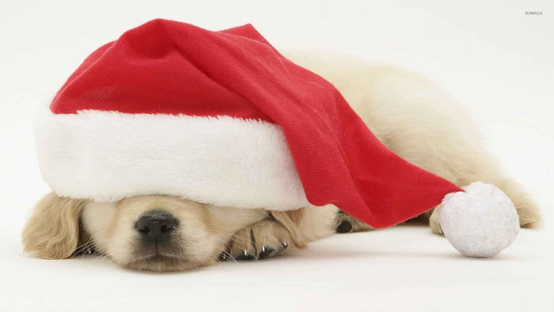 Puppy sleeping under santa s hat wallpaper animal