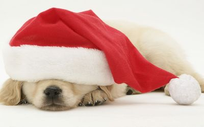 Puppy sleeping under Santa's hat wallpaper