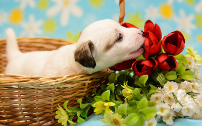 Puppy smelling the red tulips wallpaper
