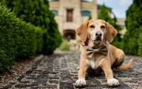 Puppy with bow around its neck wallpaper 2560x1600 jpg