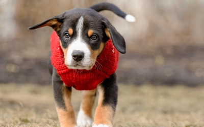 Puppy with red coat wallpaper