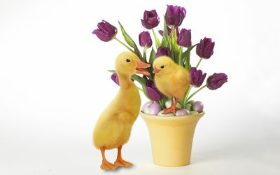 Purple tulips and cute ducklings wallpaper