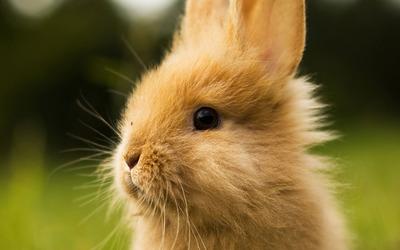 Rabbit [3] wallpaper