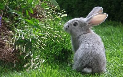 Rabbit [2] wallpaper