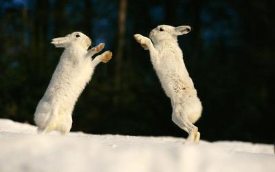 Rabbits [4] wallpaper