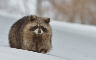 Raccoon in the snow wallpaper