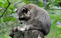 Raccoon on the log wallpaper 2560x1600 jpg