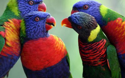Rainbow lorikeets meeting wallpaper