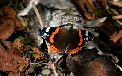 Red Admiral wallpaper