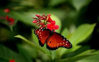 Red butterfly wallpaper 2560x1600 jpg